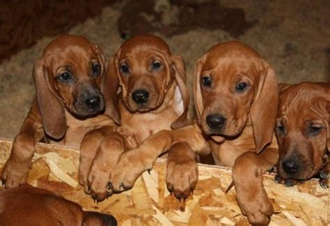 coonhound puppies strong redbone coonhound puppies breeds puppies friendly redbone coonhound