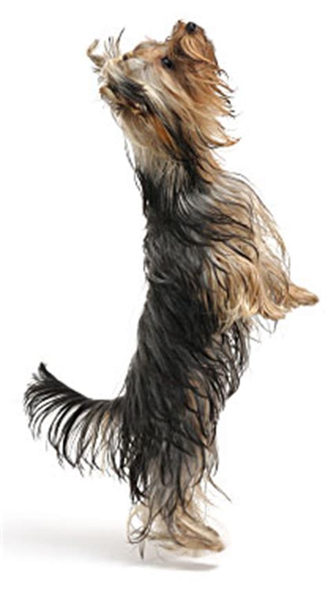 yorkie puppy tips yorkie barking is your terrier barking breeds picture