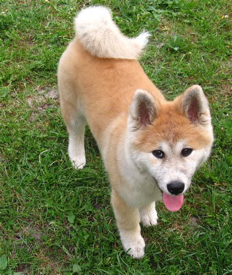 akita inu puppy akita inu puppy photo and wallpaper beautiful akita