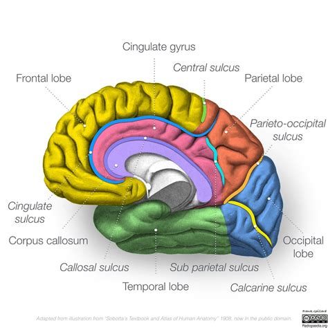 parietal lobe cognitive tests wiring diagrams wiring diagram