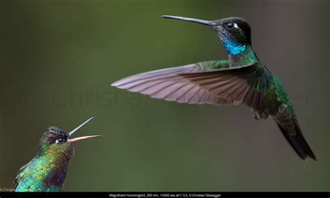 kollibri hummingbird session berg gef 252 hle nerdy birdy