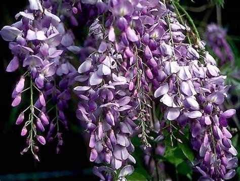 foto glicine in fiore fiori glicine fiori delle piante