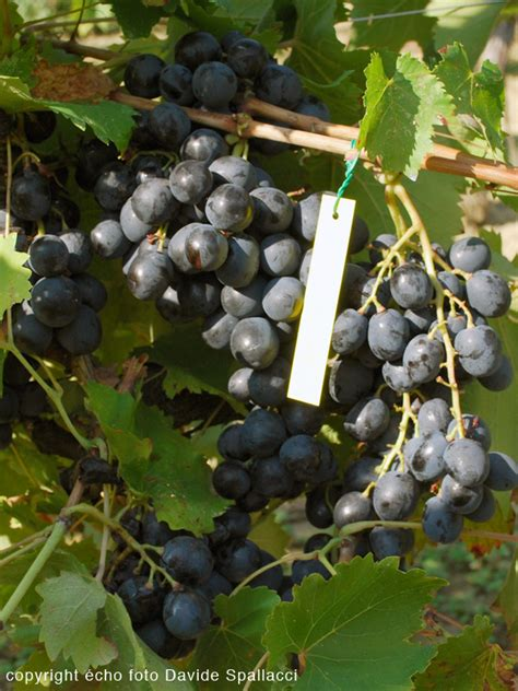 barbatelle uva da tavola barbatelle variet 224 da tavola