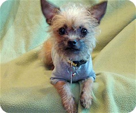 norwich terrier yorkie mix keira adopted puppy los angeles ca norwich terrier yorkie terrier mix