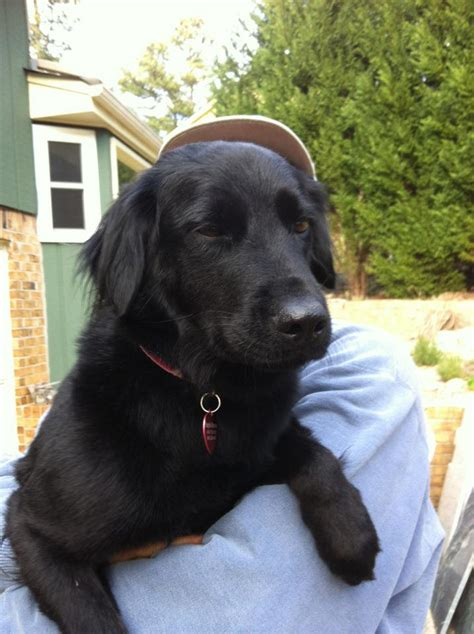 flat golden retriever flat coated retriever golden retriever mix www imgkid the image kid has it