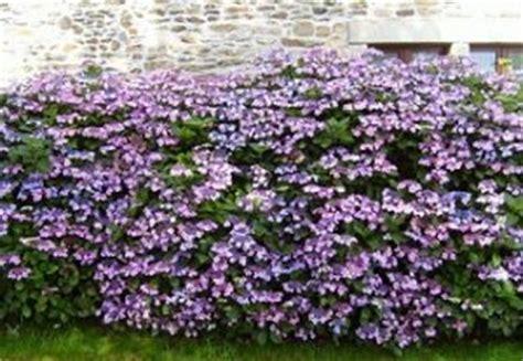 siepi fiorite da giardino 10 piante ideali per siepi da giardino