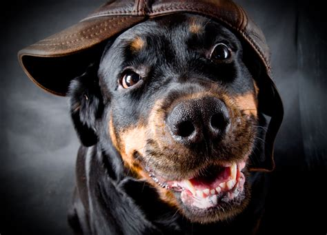 rottweiler language quotes youne