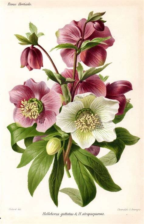 descargar botanical drawing in color libro e 1883 hellebore purple white antique botanical print french garden lithograph vintage flower home