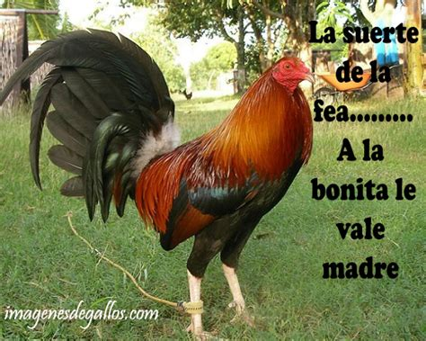 imagenes perronas del santos imagenes de gallos con frases perronas para descargar