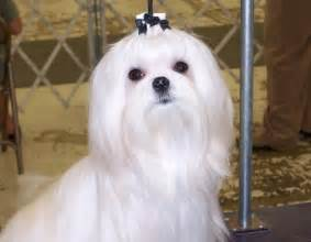 different maltese haircuts pictures the beautiful maltese dog looks haircuts styles