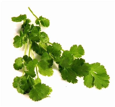 Is Dried Cilantro For Detox by Detox Foods
