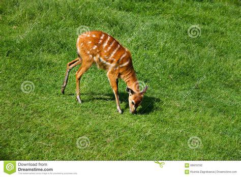 que comen las hadas que comen los animales ciervos animales que comen la hierba foto de archivo
