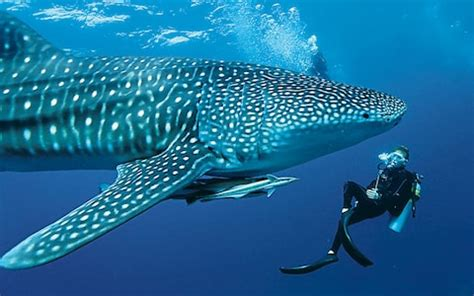 a whale shark encounter in the maldives telegraph