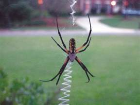 Garden Spider Name Garden Spider Facts Get Rid Of Garden Spiders