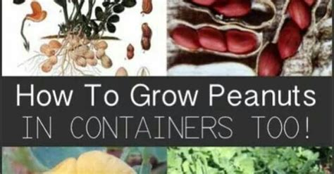how to grow peanuts an easy guide for gardening beginners about six weeks after they seeds sprout peanuts plants