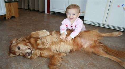 golden retriever protects baby how much is that doggie in the window i my golden retriever