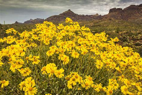 desert flowers yellow desert flowers related keywords yellow desert