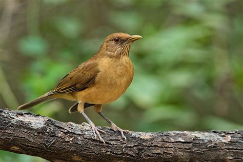 State Birds by Clay Colored Thrush 5