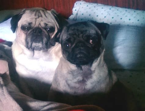 healthy pug weight welcoming levi the pug to the halo healthy weight challenge radio pet network