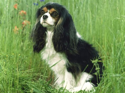 king charles puppy your primary keyword site title 70 characterscavalier king charles guide cavalier