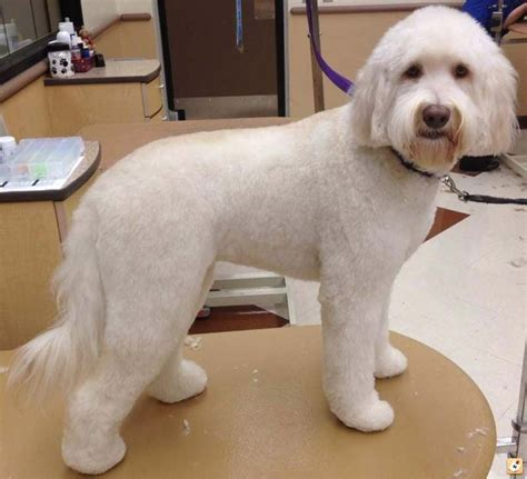 types of cuts for golden doodle types of goldendoodle haircuts goldendoodle lamb cut