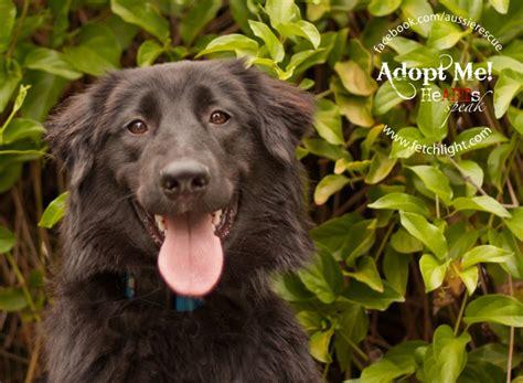 puppy rescue san diego adoptable san diego aussie rescue