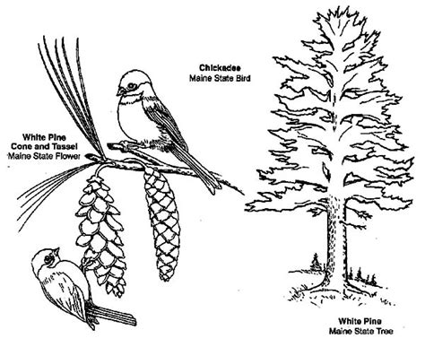 chickadee coloring page coloring pages