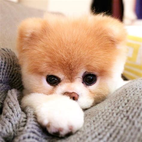 pomeranian boo 17 best ideas about pomeranian boo on pomeranians pomeranian puppy and