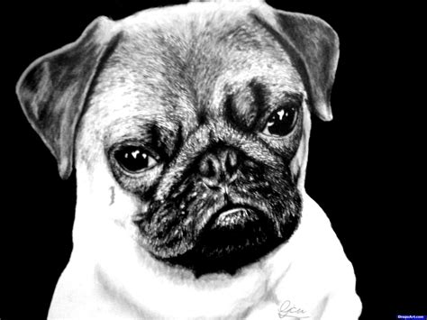 how to draw a pug for how to draw a realistic pug step by step pets animals free drawing tutorial