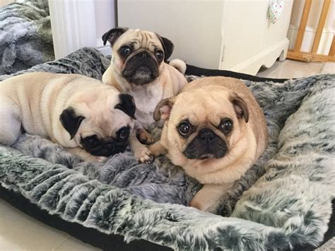 ellie and darcie the pugs xxjemmamxx on quot 3 in the bed https t co rct4ipw6of quot