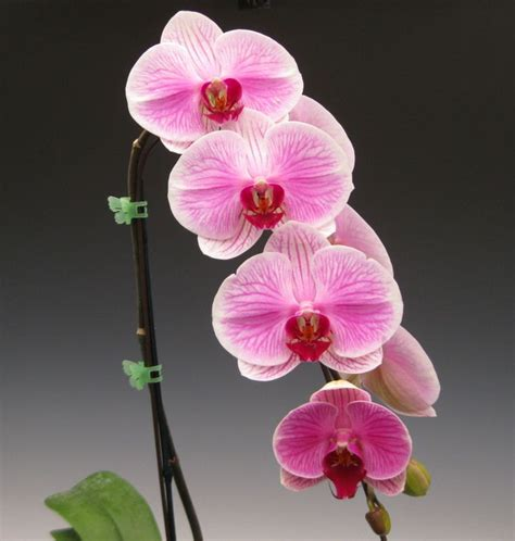 Harga Orchid Florist mothers day orchid flowers 004 jpg 1475 215 1552 tropical