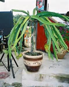 Pole Trellis Manage And Prune Dragon Fruit Improve Production