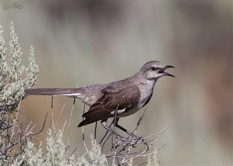 pin by jose miguel cordero on northern mockingbird pinterest