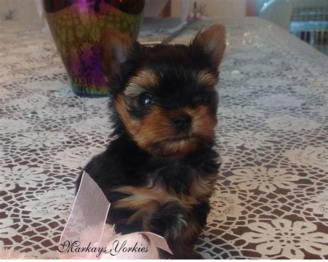 yorkie puppies minnesota teacup yorkie for sale yorkie breeds picture