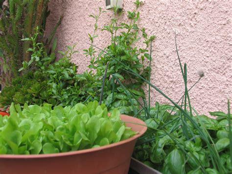 coltivazione zucchine in vaso la magia di un piccolo orto orto in vaso