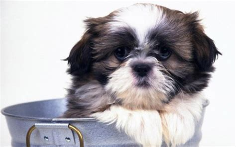 shih tzu puppy wallpaper shih tzu hd wallpapers for android appszoom