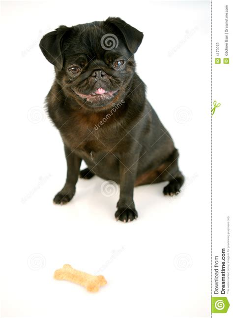black pug clipart black pug royalty free stock images image 4179279