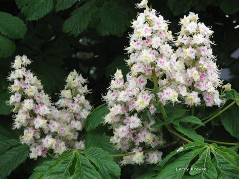 fiori di bach white chestnut white chestnut gocce orali 10 ml loacker fiori di bach