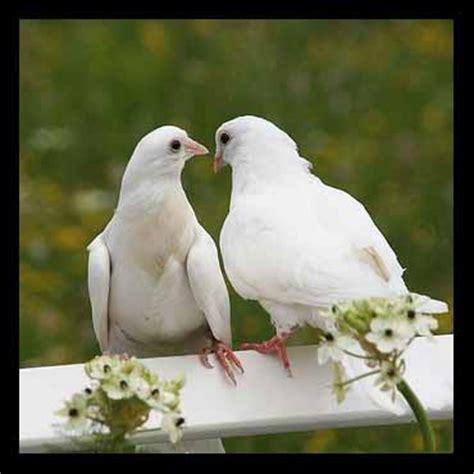 Tirai Burung Dan Sepasang Kekasih gambar dhika falcon merpati tak ingkar janji burung tidak