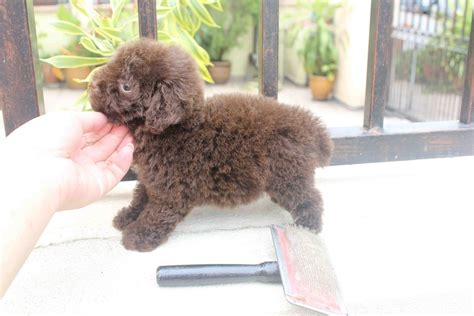 chocolate poodle puppy chocolate poodle www pixshark images galleries with a bite