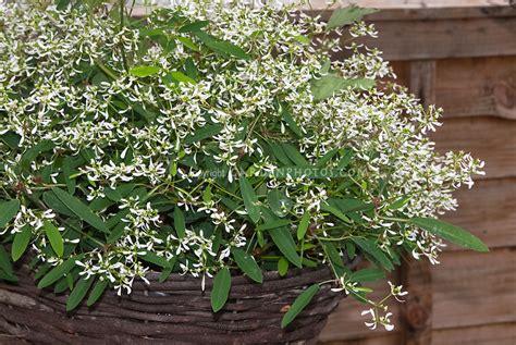 euphorbia breathless white plant flower stock photography gardenphotos com