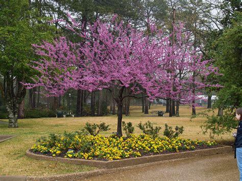 redbuds signal spring east texas gardening