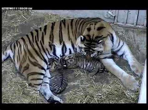 nursing tiger cubs @ brookfield zoo youtube