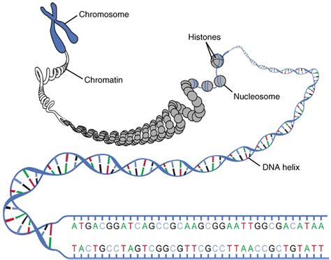 chromatin diagram this diagram shows the macrostructure of dna a chromosome