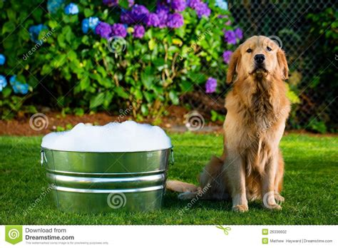 puppy bath time bath time stock photography image 26336602