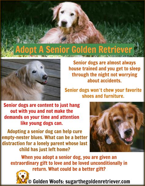 golden retriever senior october adopt a shelter month golden retriever golden woofs