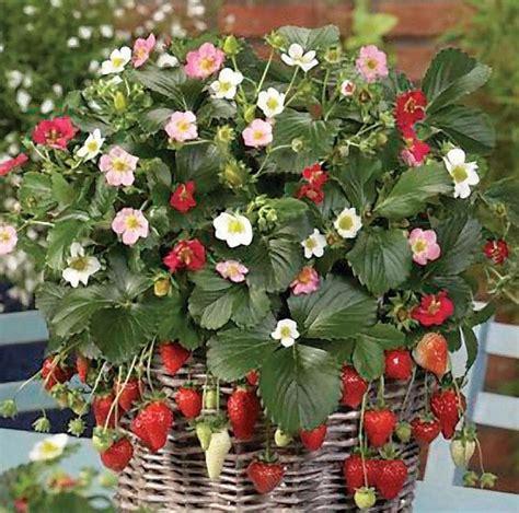 fragole in vaso coltivazione fragole ricanti piante da giardino