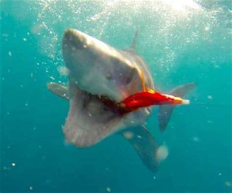 orange shark why are shark flies orange or orange fly life magazine