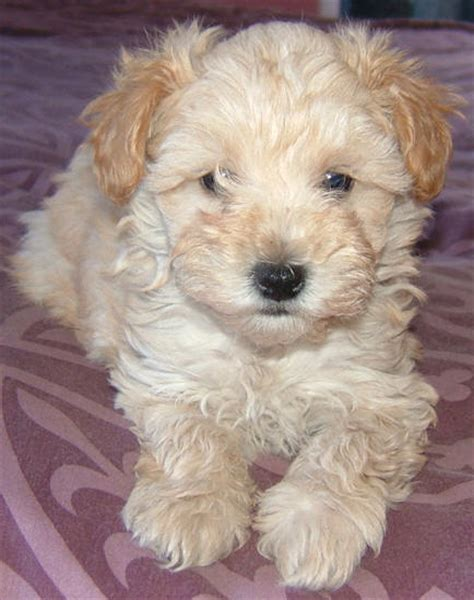 schnoodle puppies 1000 images about schnoodles on