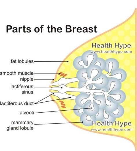 diagram of breast breast anatomy function parts and pictures